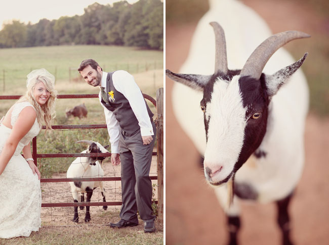 goat at a wedding