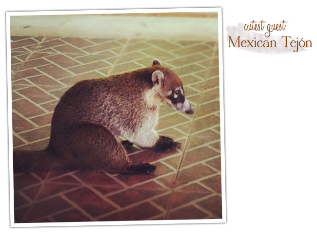Mexican Tejon