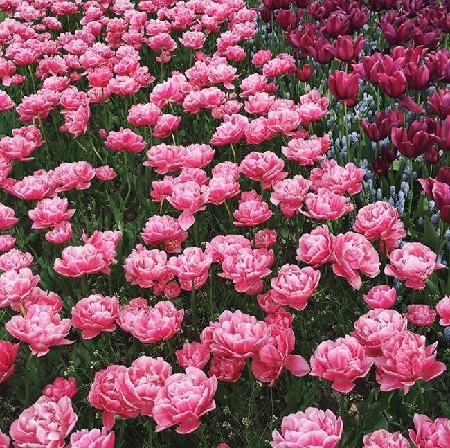 the keukenhof tulip garden
