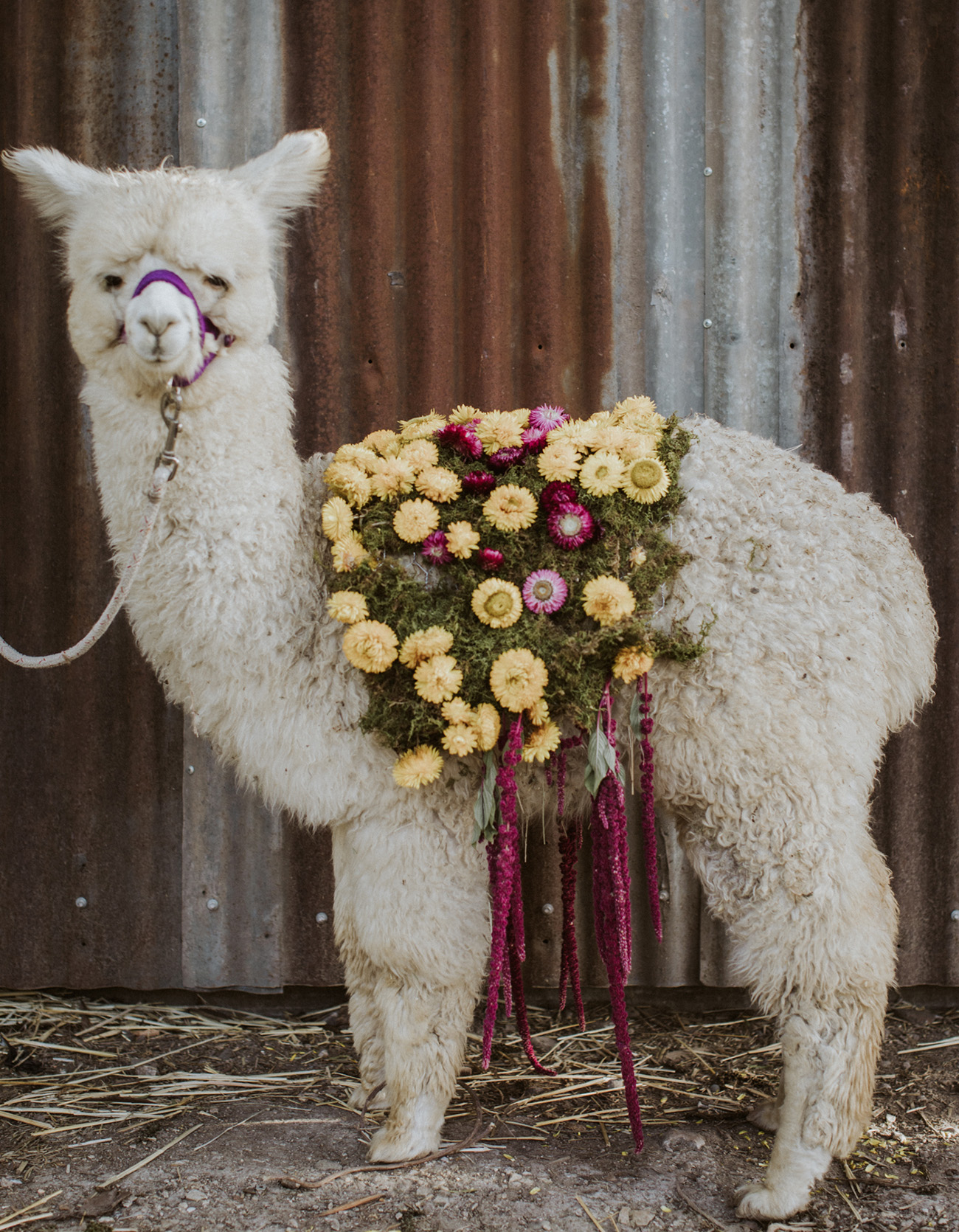baby alpaca wedding