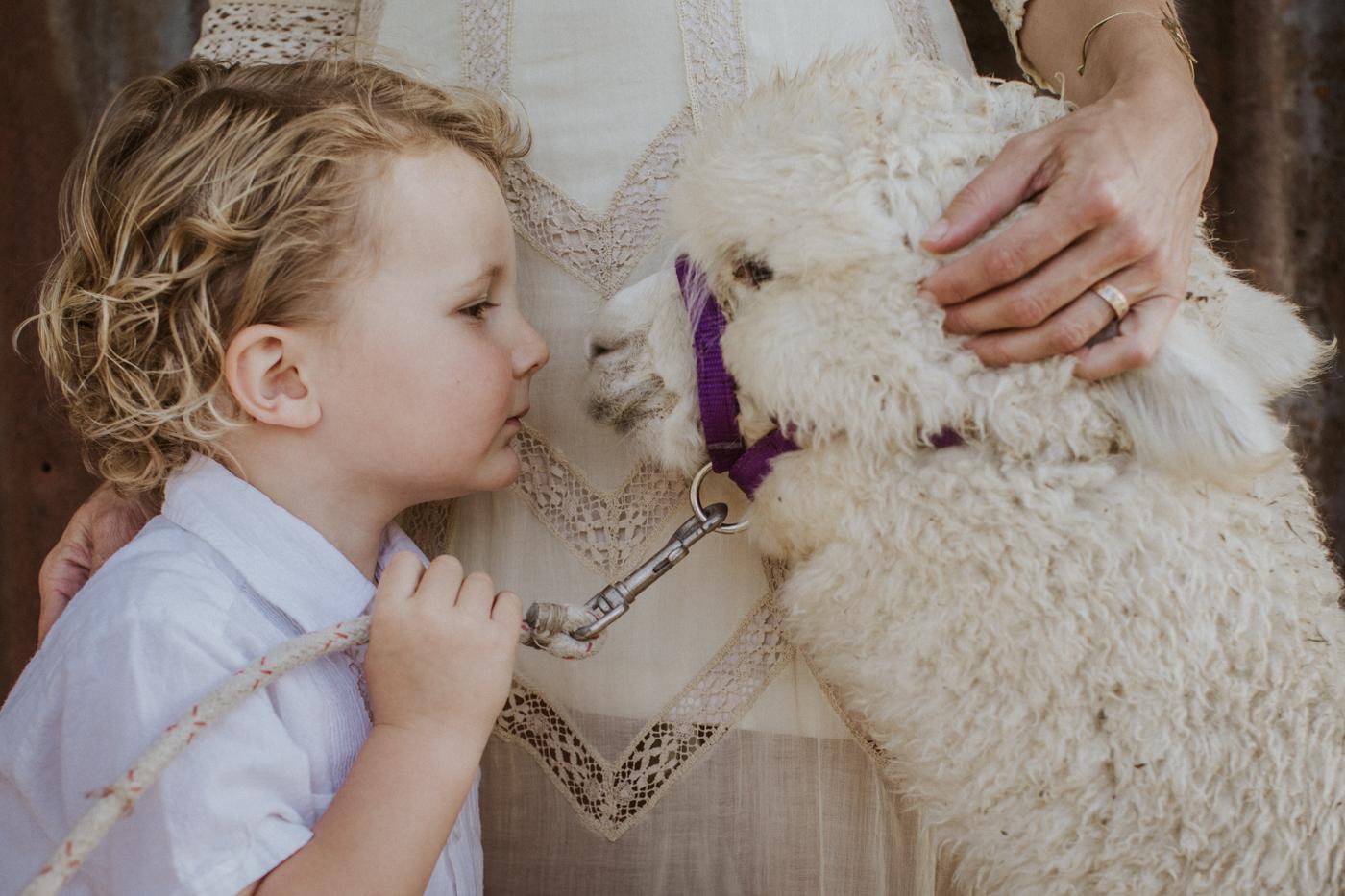 baby alpaca at a wedding