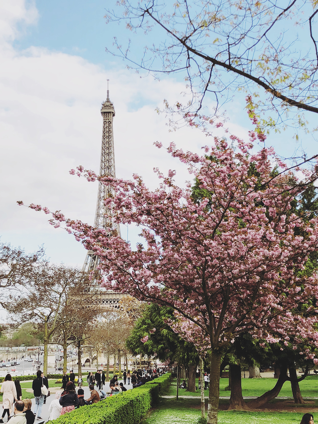 Cherry Blossoms by the Eiffel Tower