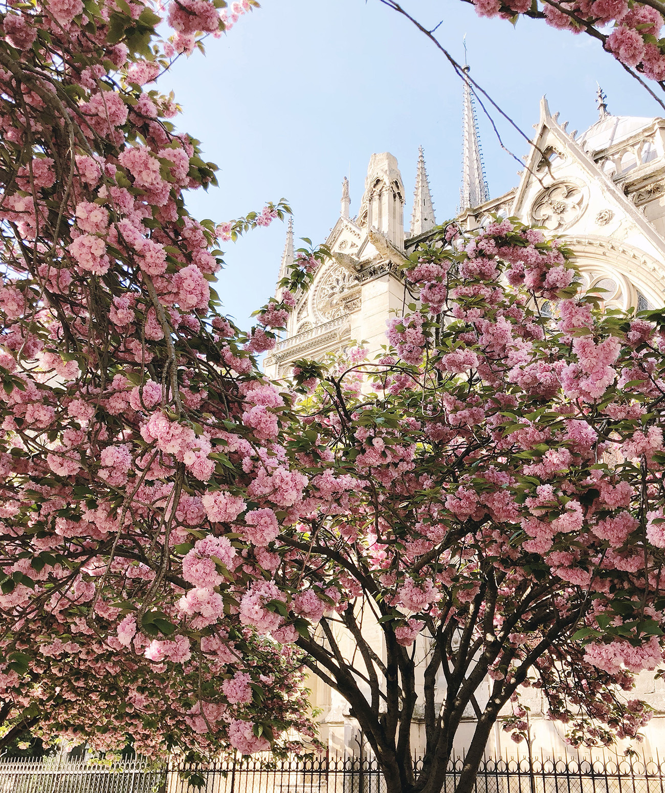 Notre Dame with Cherry Blossoms