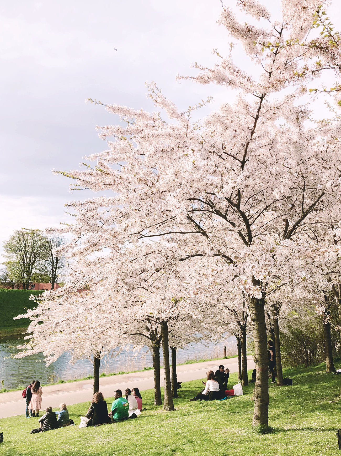 Cherry Blossoms in Copenhagen