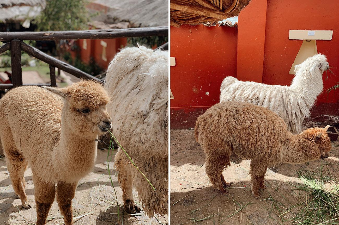 alpacas in Chinchero