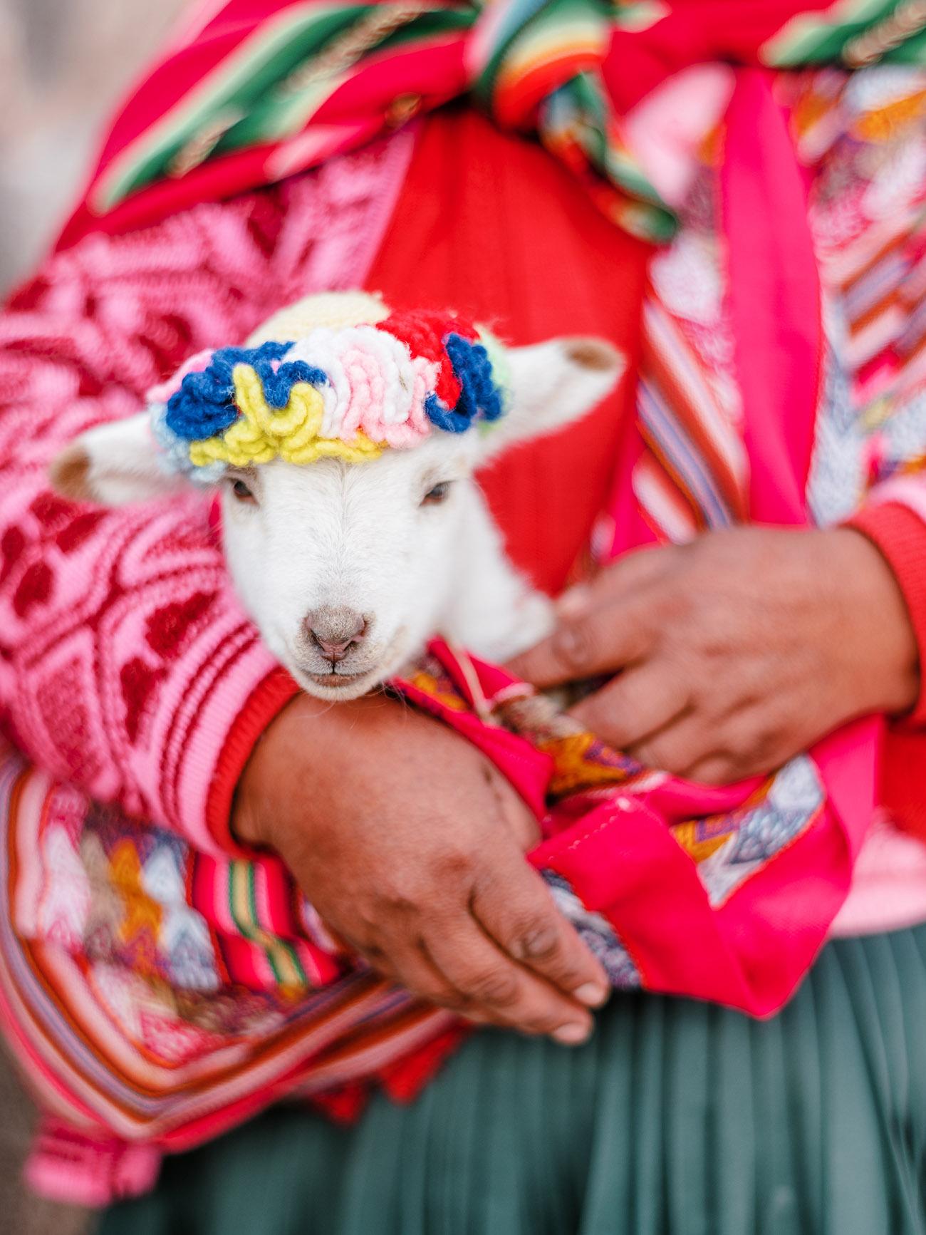 baby alpaca in Cusco