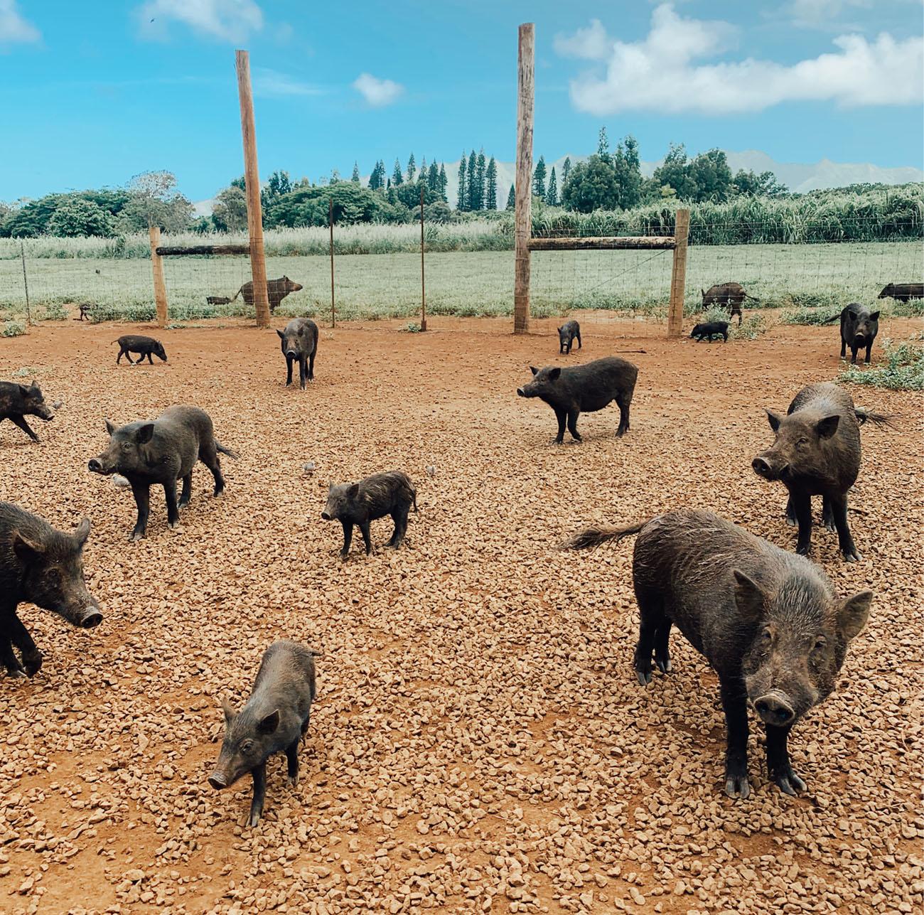 hawaiian pigs at Kauai Plantation Railway