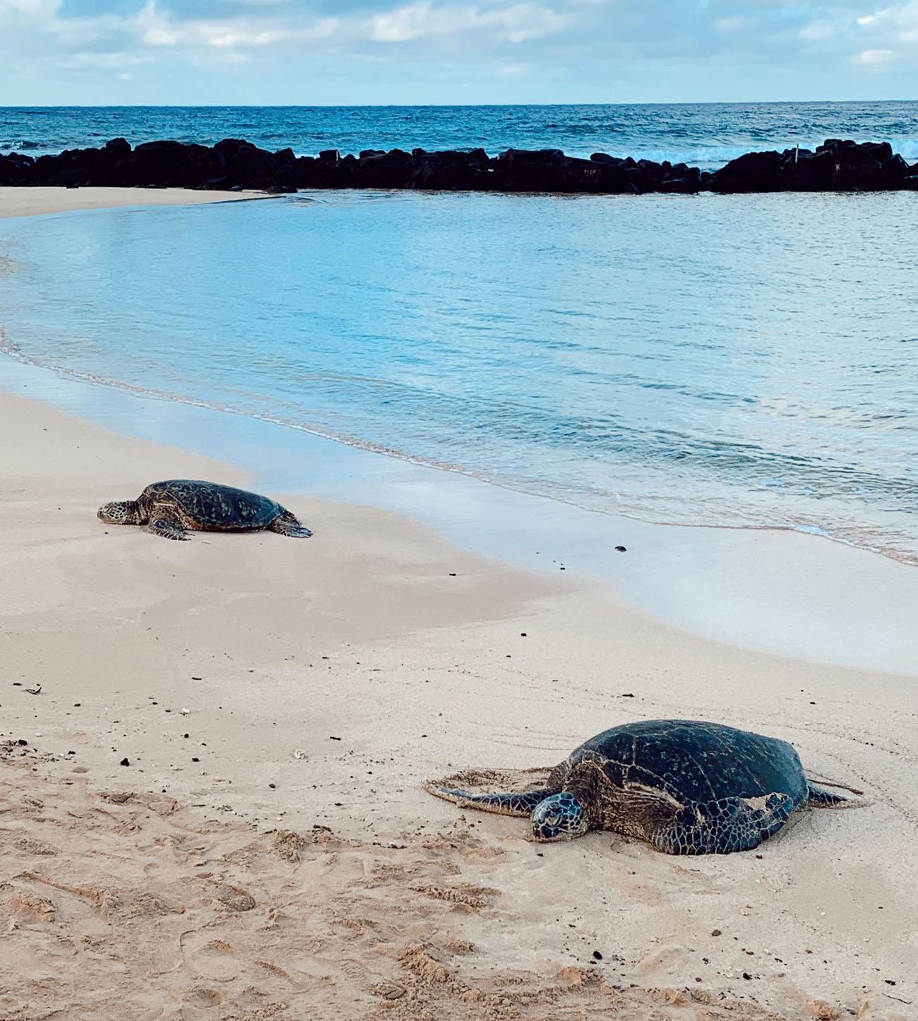 turtles on the beach in kauai
