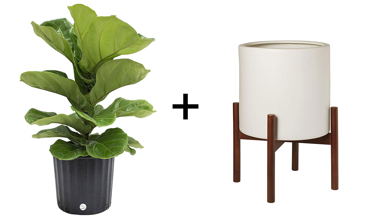fiddle leaf fig and mid-century planter
